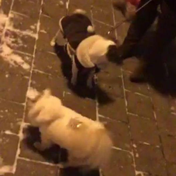 Шубка Челси впечатлила на улице других собак