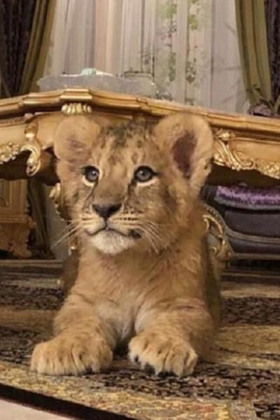Супруга депутата завела львенка