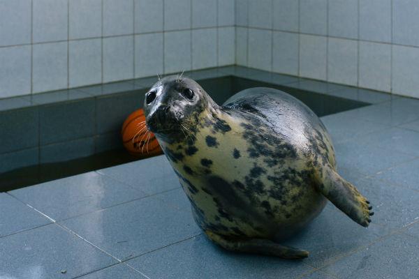 Тюленя Живу, изувеченную винтом лодки, подбросили под дверь ветклиники в мае 2012 года