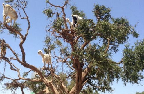Парнокопытные «порхают» по веткам в поисках «орешков» арганы