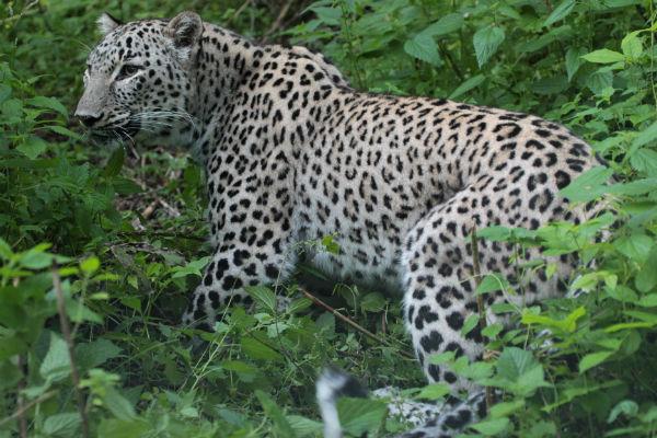 Леопардов держат в естественных условиях, с людьми контактировать не дают