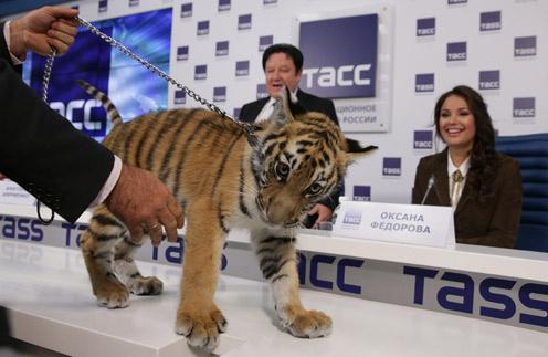 На презентации появился живой амурский тигренок. На втором плане - Александр Митрошенков и Оксана Федорова