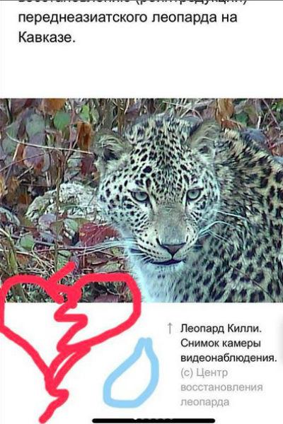Прощальное фото леопарда Килли