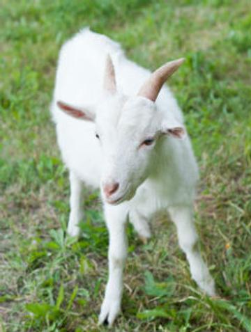 Все козы живут в загородном доме актрисы