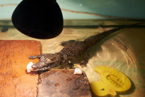Крокодила Геннадия дворник нашел в контейнере для мусора. Любимое лакомство рептилии – куриные грудки