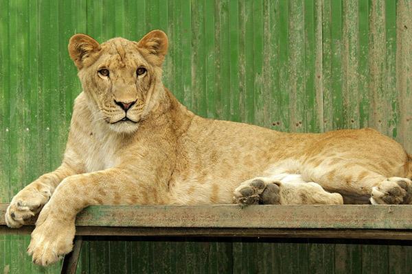 Львица Сараби в декабре стала мамой